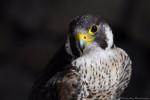 Turkey - Falco pellegrino Maschio (2 anni)