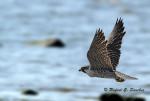 libertad - Falco pellegrino (1 anno)
