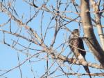 Hawk - Falco pellegrino Maschio (8 anni)