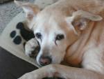 Cane Lucie a 13 ans - ( (13 anni))