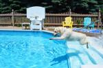 Un Labrador blanc bondit dans une piscine