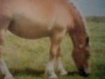 Cavallo Bretonne - ()