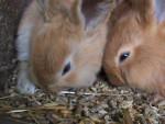 Coniglio medio Caramel - ( (2 mesi))