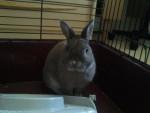 Coniglio nano croqui - Maschio ( (1 anno))