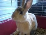 Coniglio nano Peluche - Maschio ( (1 anno))