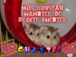 Criceto Chester - Maschio ( (10 mesi))