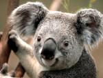 Koala Estelle 142 (koko) - ( (11 anni))