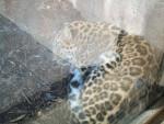 Leone Amur Leopard - ( (5 anni))