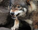 Lupo lobo - Maschio ( (7 mesi))
