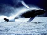 Orca Orca - Maschio ( (1 anno))