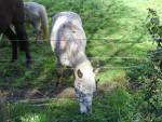 Pony Noisette - ( (2 anni))