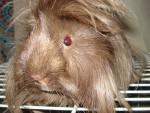 Porcellino d'India Buddy - Maschio ( (9 mesi))
