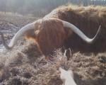 Vacca Steer - Maschio ( (5 anni))