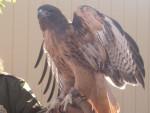 Hawk Wings - Maschio
