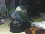 Pollo - Maschio (3 anni)